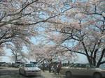 海津大崎の桜153-5380_IMG.JPG