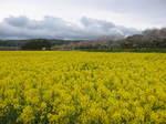 黄色い菜の花畑153-5396_IMG.JPG