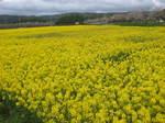 黄色い菜の花畑153-5397_IMG.JPG