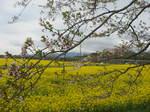 黄色い菜の花畑153-5398_IMG.JPG