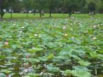 奥びわスポーツの森の湿性植物園のハスの花154-5484_IMG.JPG