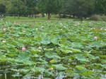 1奥びわスポーツの森の湿性植物園のハスの花54-5485_IMG.JPG
