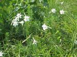 琵琶湖岸付近のゆりの花の群落3