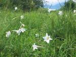 琵琶湖岸付近のゆりの花の群落4