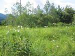 琵琶湖岸付近のゆりの花の群落6