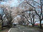 海津大崎の桜153-5379_IMG.JPG