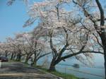 海津大崎の桜153-5382_IMG.JPG