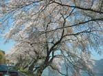 海津大崎の桜153-5390_IMG.JPG