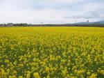 黄色い菜の花畑153-5395_IMG.JPG