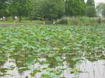奥びわスポーツの森の湿性植物園のハスの花154-5402_IMG.JPG