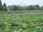 奥びわスポーツの森の湿性植物園のハスの花154-5482_IMG.JPG