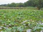 奥びわスポーツの森の湿性植物園のハスの花154-5483_IMG.JPG