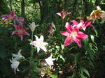 琵琶湖箱館山のゆり園のゆり5