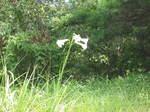 琵琶湖岸付近の孤高のゆりの花