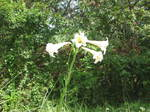 琵琶湖岸付近の孤高のゆりの花2