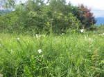 琵琶湖岸付近のゆりの花の群落1