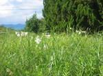琵琶湖岸付近のゆりの花の群落2