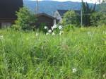 琵琶湖岸付近のゆりの花の群落5